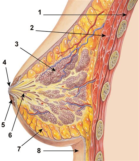 diagram of milk ducts in breast interactive health