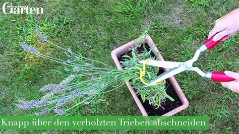 Lavendel Schneiden Und Trocknen by Gartentipp Lavendel Richtig Schneiden Und Verwerten