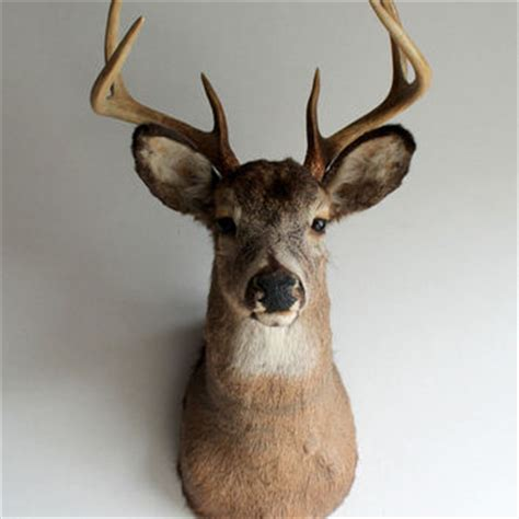 Stag Head Home Decor by Shop Mounted Deer Head On Wanelo