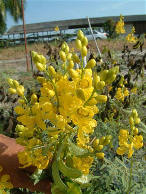 senna mekah cassia angustifolia