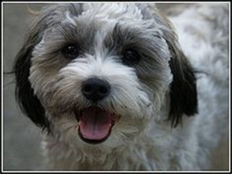 when to start haircuts on shih poo puppies 1000 images about toby haircut ideas on pinterest