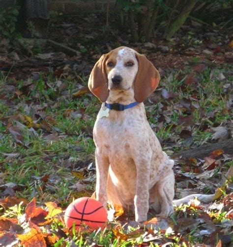 redtick coonhound puppies redtick coonhound you re the cats meow