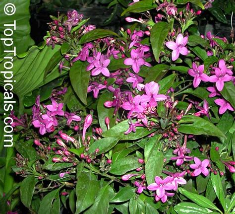 Pink Clematis 2876 by Www Toptropicals Plants For Home And Garden