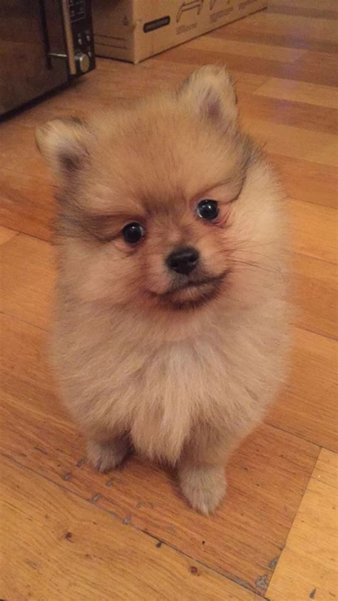 teddy pomeranian for sale in teddy pomeranians cardiff cardiff pets4homes