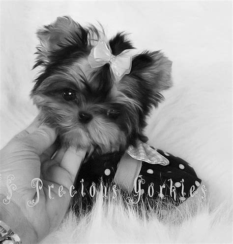 yorkie vancouver baby doll faced yorkies vancouver fcs precious yorkies