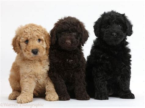 mini doodle puppies ohio 25 best ideas about labradoodle on
