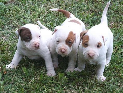 pitbull terrier puppies all about animal wildlife american pitbull puppies images