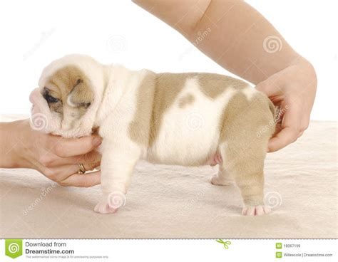 3 week puppy puppy 3 weeks royalty free stock images image 18067199