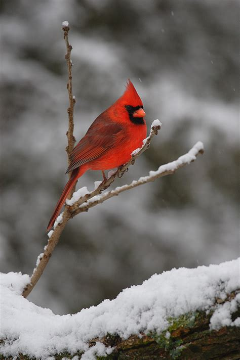 jewel of winter northern cardinal wisconsin nate