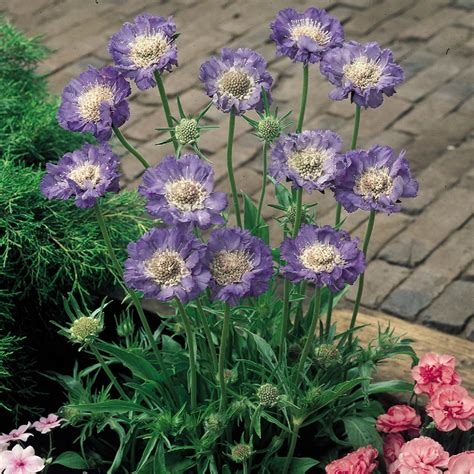 scabiosa caucasica clive greaves  parker dutch bulbs