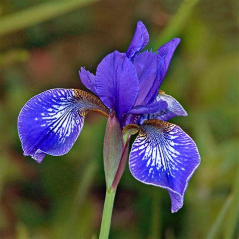 Butterfly Iris Blue T1310 3 iris sibirica flight of butterflies seeds siberian iris plant world seeds
