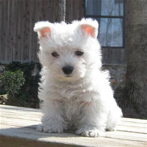 west highland white terrier puppies for sale best 25 westie puppies for sale ideas on apple chihuahua apple