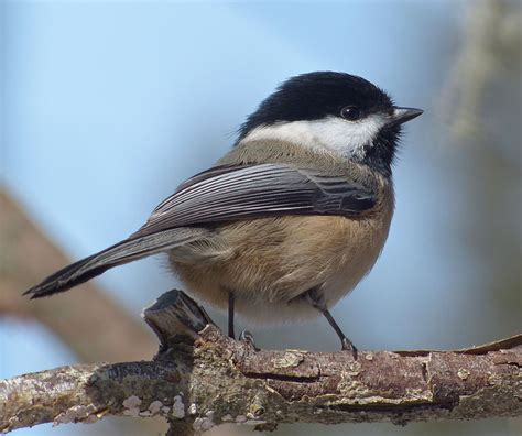 state bird of massachusetts black capped chickadee