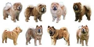 chow chow colors about us