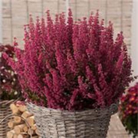 fiore canula viola perenni per zone soleggiate