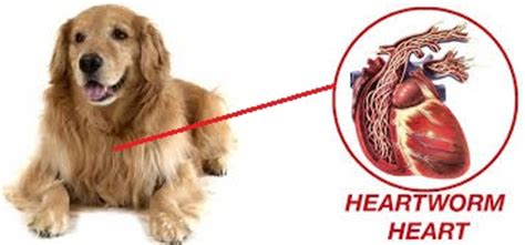 what causes heartworms in dogs does heartworm prevention treatment necessary for my underrated or overrated