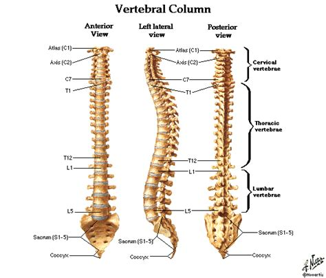 back diagram spine and vertebre diagrams free dentistry and