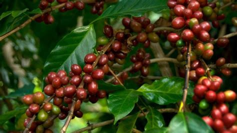 coffee beans grow referencecom