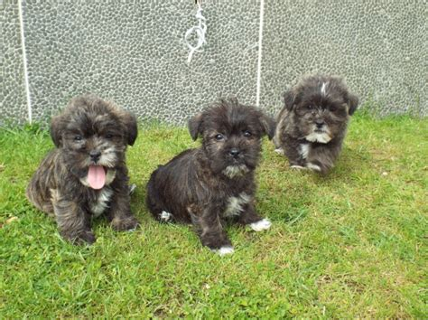 shih tzu schnauzer beautiful schnauzer x shih tzu puppies for sale llanelli carmarthenshire pets4homes