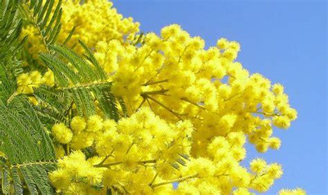 immagini mimosa fiore sagra della mimosa gusto in giallo nel golfo paradiso