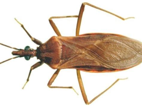 can bed bugs live in tvs cdc kissing bug reported in florida