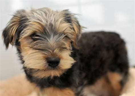 schnauzer yorkie mix adopt dogs near me pets world