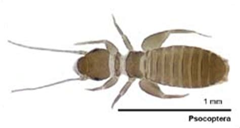booklice psocids alphabetic list of bugs manaaki