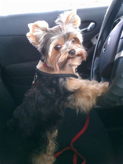 blonde yorkie haircuts 85 best images about yorkie haircuts on pinterest best