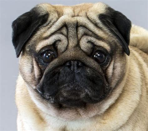 pug breed facts information picture pug coloring europe travel guides