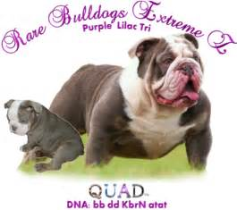 bulldogs colors bulldog colors breeds picture