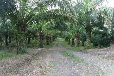 Minyak Kelapa Sawit Di Indonesia sejarah kelapa sawit di indonesia perkebunan kelapa sawit