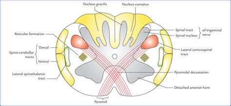 Transverse Section Of Medulla Oblongata by Brainstem Neupsy Key