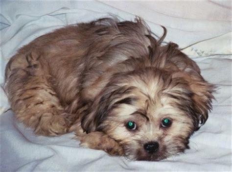 pekingese poodle lifespan pekepoo breed pictures 3