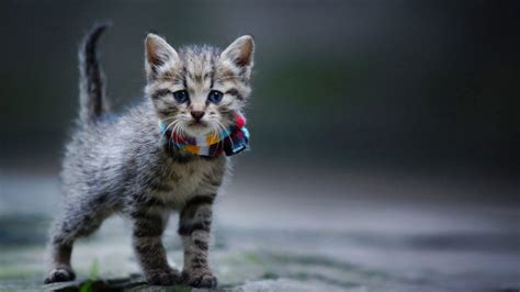 cool cat backgrounds cool cats wallpapers wallpaper cave