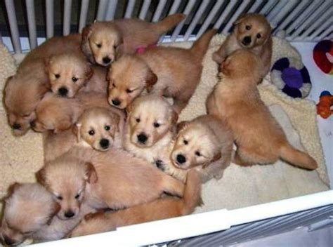 golden retrievers in pa litters hillock goldens golden retrievers ligonier