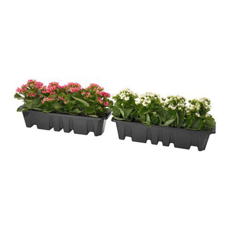 ikea vasi piante v 196 xtlig piante in vaso per fioriera ikea
