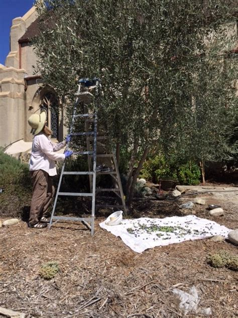 Olive Garden Pasadena by Transition Pasadena Throop Learning Garden