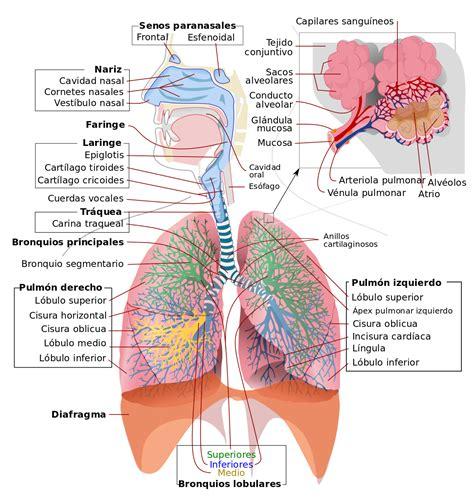 anatomia del sistema respiratorio aparato respiratorio wikipedia la enciclopedia libre