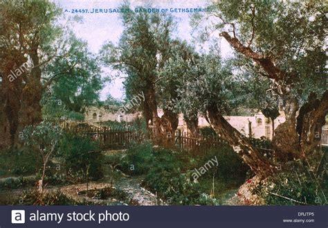 der garten gethsemane garden of gethsemane israel stockfotos garden of