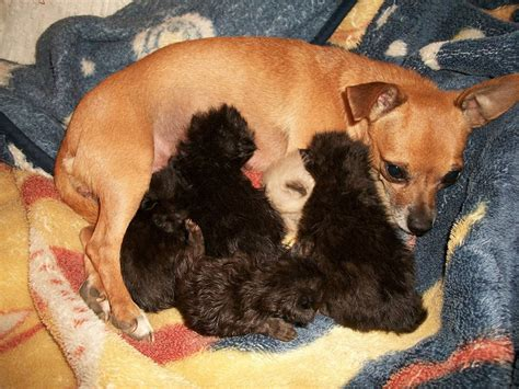 stillborn puppy chihuahua mothers foster kittens with cats