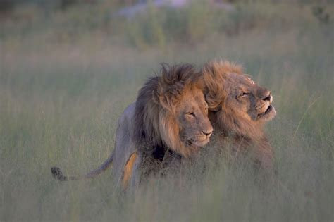 african animals mating videos no those aren t male lions mating one is likely a female