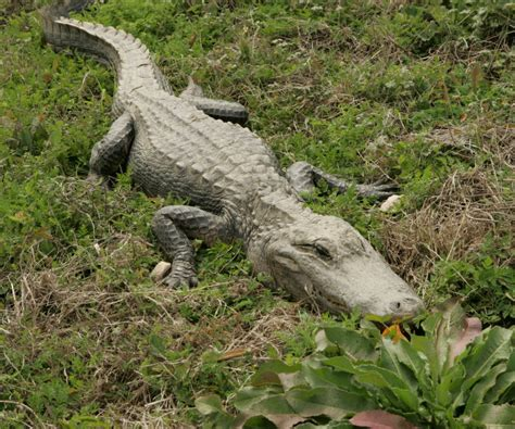alligators in texas map reptiles anahuac u s fish and wildlife service