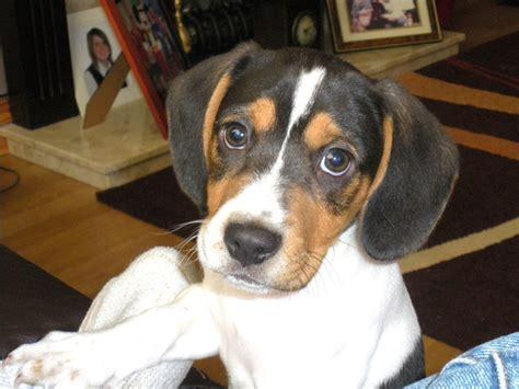 jackabee puppies jackabee terrier beagle mix info puppies pictures