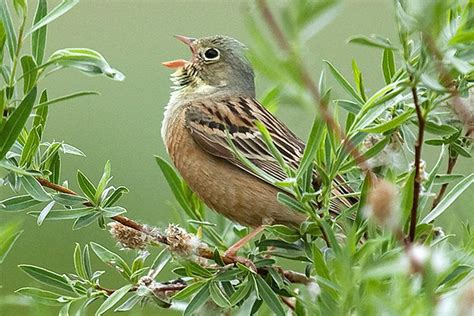 identify bird calls birding by ear