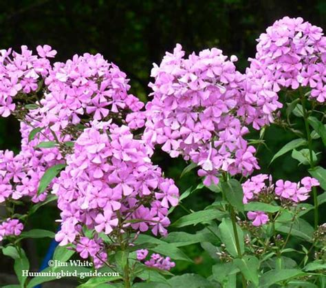 phlox for hummingbirds a must to attract hummingbirds to your garden