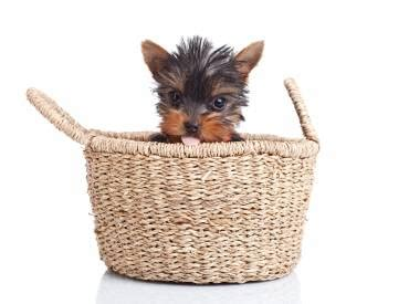 all you need to about yorkies all about the yorkies we yorkie