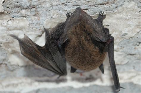bat is a bird or mammal f f info 2017