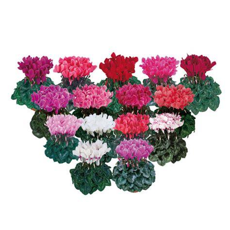 ciclamini in vaso ciclamino vaso 10 floricoltura magnani di magnani gianpaolo