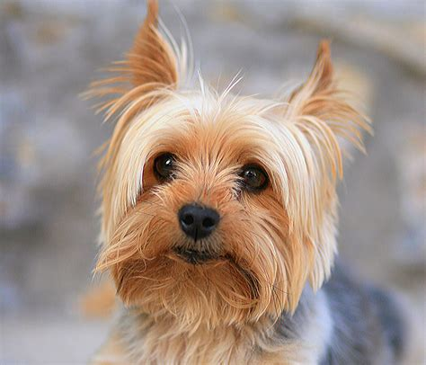 yorkie puppy pictures terrier history personality appearance health and pictures