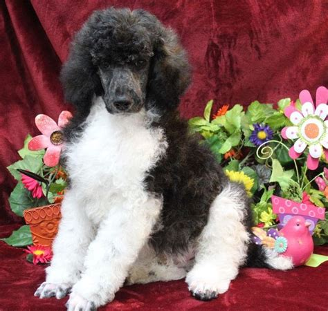 standard parti poodle puppies for sale pin by shelia grady on puppies